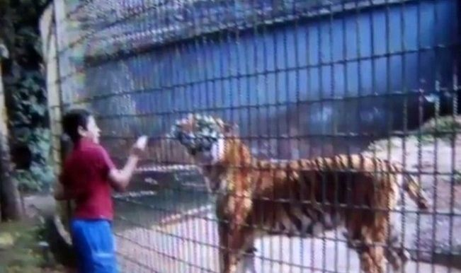 Shocking video: Tiger bites 11-year-old boy's hand at Brazilian zoo!