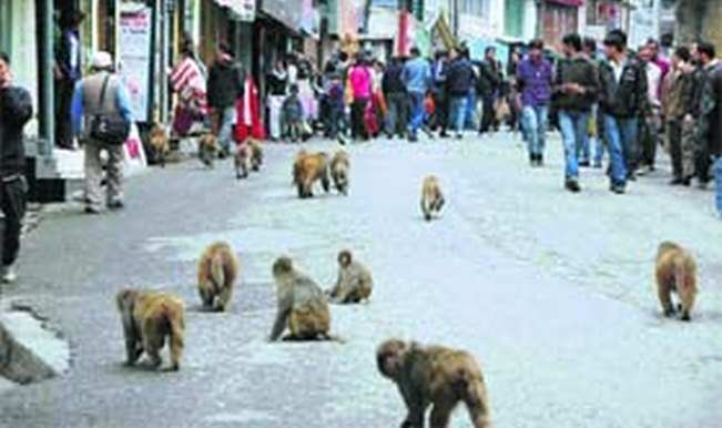 Monkey menace: Lift ban on monkey export, says Himachal BJP MP