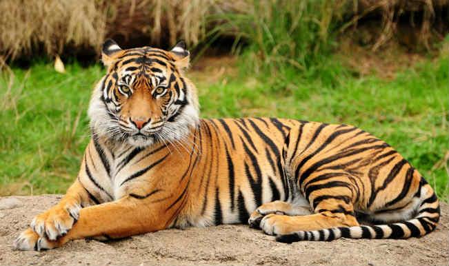 tiger454