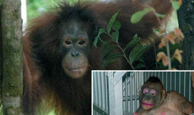 Meet Pony – An orangutan who was forced to be a sex slave! Human cruelty touched a new low with animal prostitution