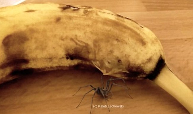 OMG! Spider bursts out of Banana (watch video)