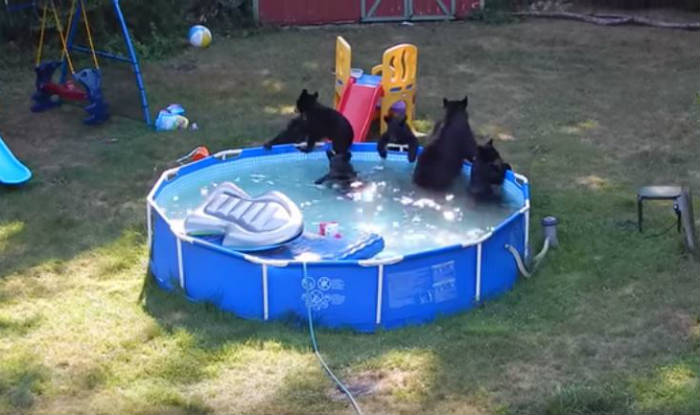 watch family of bears partying in backyard swimming pool