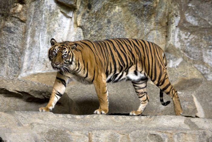 Y Tiger Is Our National Animal Cow is now the nationa...