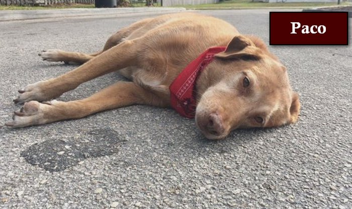 Touching! Loyal dog Paco stays by owner's body after car