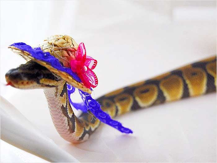 Snakes wearing party hats