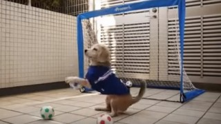 This dog's goalkeeping skills, is stuff legends are made of! (Video)