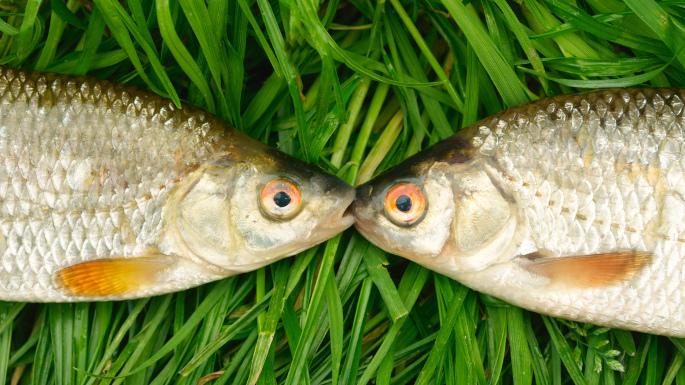 Fresh fish dating service