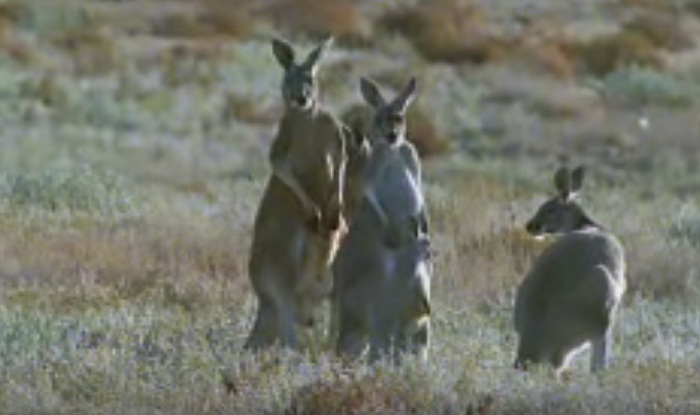 'Kangaroos cause more road accidents in Australia'   India.com