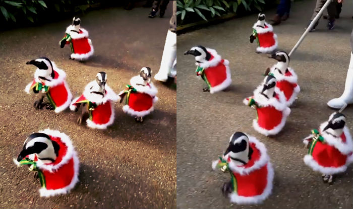 Cute Santa Alert! Penguins dressed in Christmas outfits waddle in ...