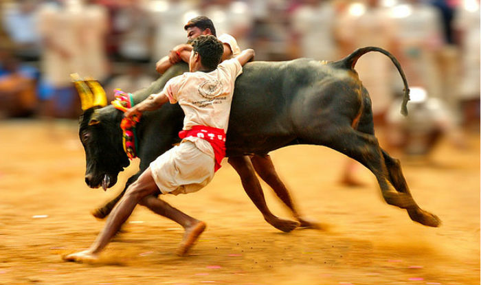 मदुरै में नहीं होगा जलीकट्टू, स्थायी समाधान न मिलने तक जारी रहेगा प्रदर्शन - India.com हिंदी