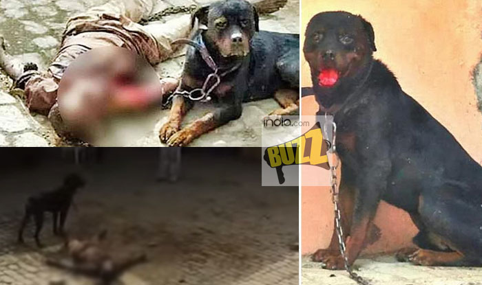 Watch Video Of Pet Rottweiler Dog That Killed And Ate Caretakers