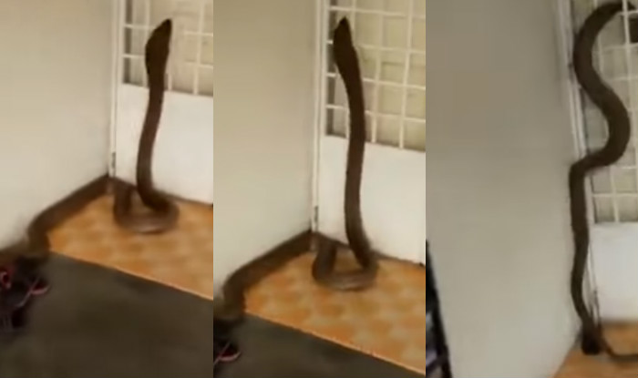 King Cobra enters home in Malaysia! Watch terrifying video of ginormous snake in Batu Pahat