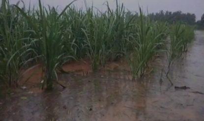 Crops damaged because of heavy rains in Andhra Pradesh