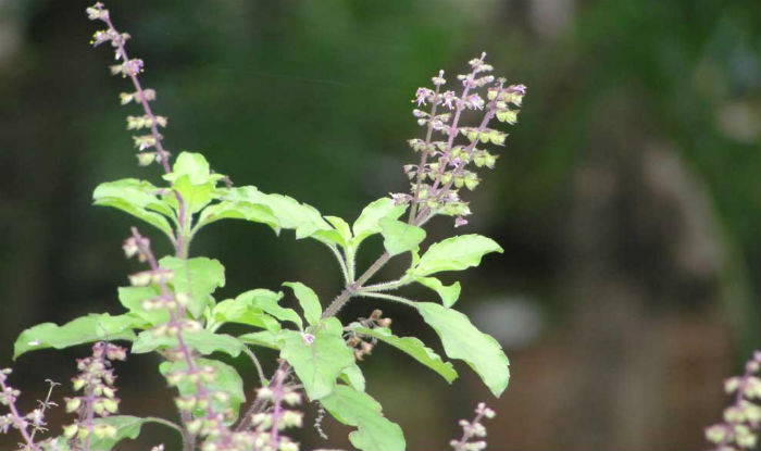 Tulsi Pujan Diwas 2017: Importance & Uses of Ocimum ...