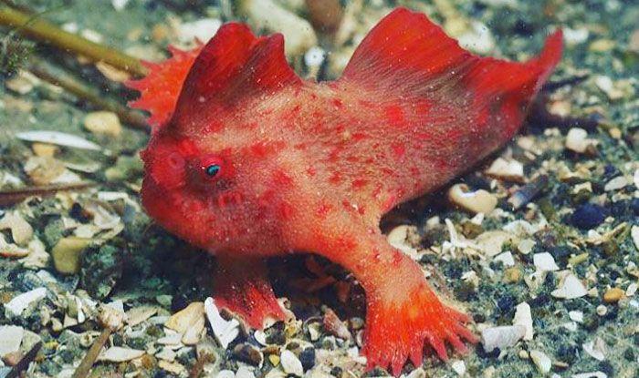 Red handfish, Tasmania