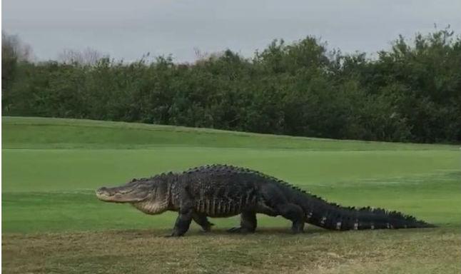 Watch Giant Alligator Casually Strolls Through Florida Golf Course Video India Com