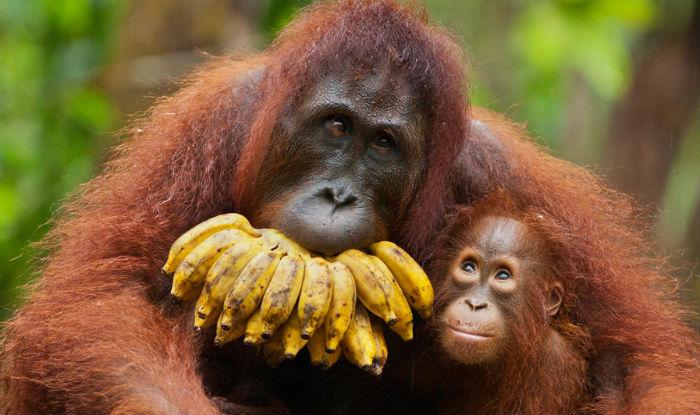 Orangutans Might Becom...