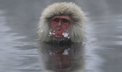 snow monkey at spring