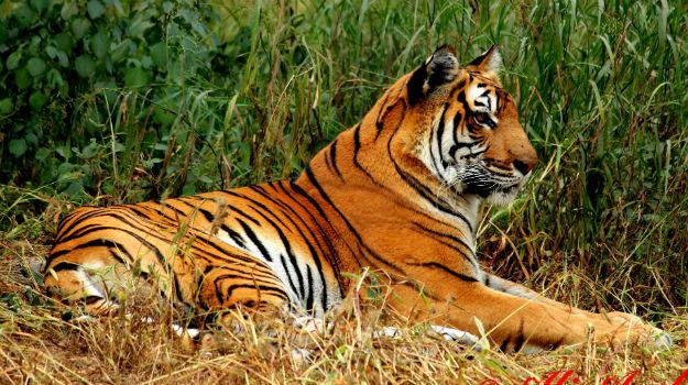 Игровой автомат untamed bengal tiger играть онлайн Гатчина