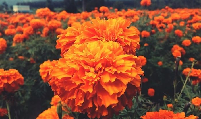 Marigold flowers, Gundlupet