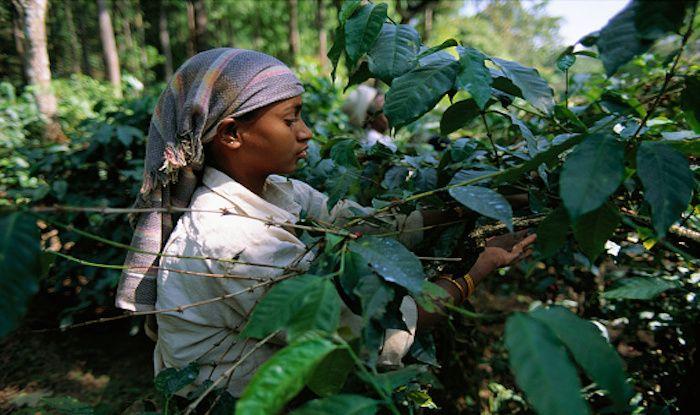 Coffee Plantation, Karnataka