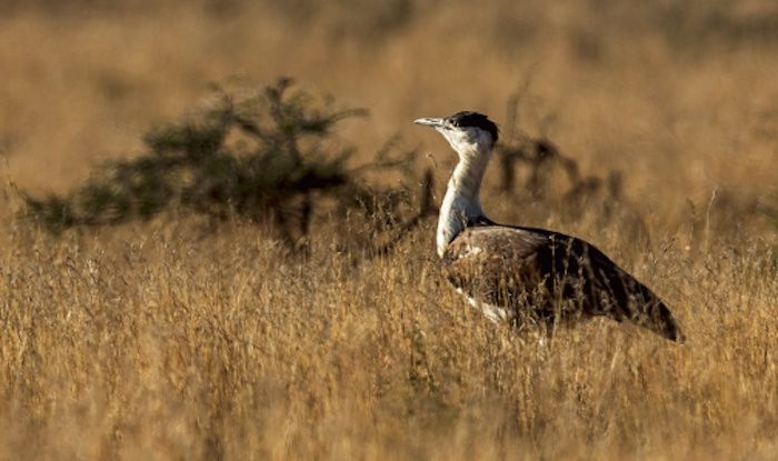 Kutch Bustard Sanctuary is An Ideal Getaway For Nature Enthusiasts