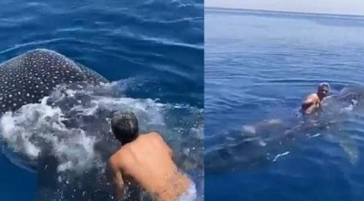 Saudi Man Jumps on Again of Uncommon Whale Shark & Rides Alongside Whereas Holding Fin | Watch Viral Video
